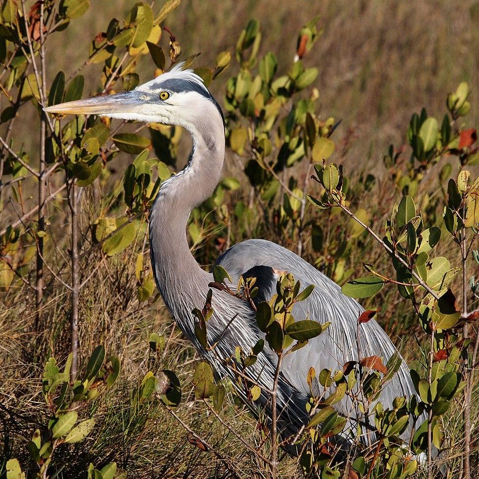 Great Blue Heron-27527-2
