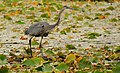 Great Blue Heron (Ardea herodias) in Lake George, Michigan..jpg