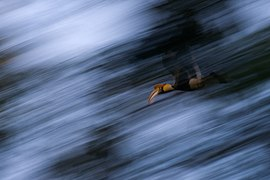 Great Hornbill in flight over rainforest TR Shankar Raman.jpg