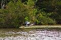 Great blue heron (19749642332).jpg