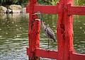 Great blue heron on torii (70289).jpg