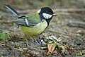 Great tit (42846328752).jpg