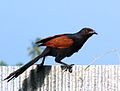 Greater Coucal01.jpg