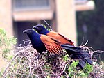 Greater Coucal2.jpg