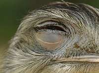 Greater rhea eyelid.jpg