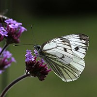 Green-veined-White-(7).JPG