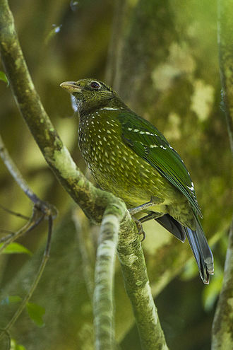Green catbird - Image: Green Catbird Lamington NP Queensland S4E6944 (22198819728)