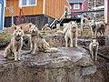 Greenland dogs upernavik 2007-06-19.jpg