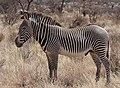 Grevy's Zebra Stallion.jpg