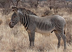 250px-Grevy%27s_Zebra_Stallion.jpg