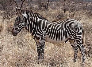Grévy's zebra - A Grévy's zebra at Buffalo Springs National Reserve.