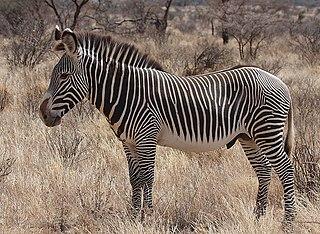 Bild: Zebra im Buffalo Springs Nationalpark Kenia. Autor: Rainbirder Quelle: Wikipedia, Lizenz: Creaitve Commons 2.0