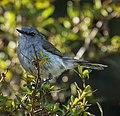 Grey Gerygone - Pureora Forest Park, New Zealand.jpg