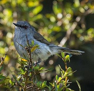 Grey warbler species of bird