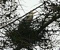 Grey Heron on the nest by Spynie loch - geograph.org.uk - 1729396.jpg