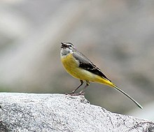 Grey Wagtail (Breeding female) I IMG 3079.jpg
