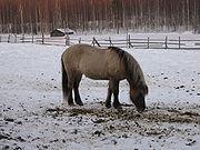 180px-Grey_dun_icelandic_horse.JPG