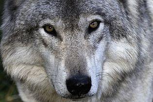 Grey wolf.jpg