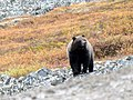 Grizzly! (48680955191).jpg