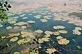 Grosses Heiliges Meer Nymphaea alba 1.jpg