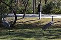 Grus canadensis (Sandhill Crane) 08.jpg