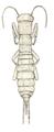 Grylloblata campodeiformis illustration.png