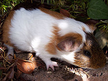 Guinea pigs anal compaction
