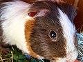 Guinea pig juvenile.jpg