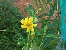 Guizotia abyssinica niger.jpg