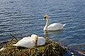 Höckerschwan mit Nest, Cygnus olor, nests with eggs 01.JPG
