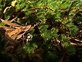 H20140814-3300—Selaginella hansenii—RPBG (14734447230).jpg