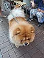 HK 西營盤 Sai Ying Pun 正街 Centre Street 第一街 First Street 龐物犬 pet dogs 鬆獅犬 Chow Chow 獅子狗 November 2018 SSG 03.jpg