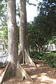 HK CWB 高士威道 Causeway Bay Road 維多利亞公園 Victoria Park tree Sept 2017 IX1 吉貝 Ceiba pentandra trunk 09.jpg