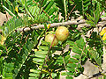 HK IndianGooseberry Fruit.JPG