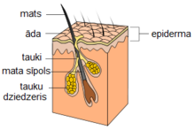 Hair follicle-lv.png