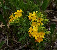 Hairypuccoon.jpg