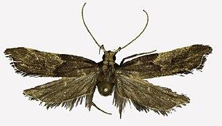 <i>Halolaguna discoidea</i> Species of moth
