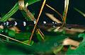 Hammerhead Flatworm (Bipalium sp.) - Niah Caves NP, Sarawak, Malaysia - Scanned slide from 2001.jpg