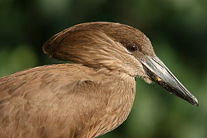 Shoebill - Molecular studies have found the hamerkop to be the closest relative of the shoebill.