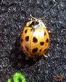 Harlequin ladybird (RL) (5636999671).jpg