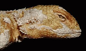 Harvard University Museum of Comparative Zoology - Agama rueppelli.jpg