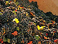 Harvested Wine Grapes with MOG.jpg
