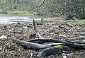 Haugh Wood - Ribble riverbank - geograph.org.uk - 362001.jpg