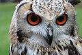 Head of a Eurasian eagle owl.jpg
