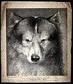 Head of the famous Eskimo dog. Lithograph by H. Hawkins. Wellcome V0021849.jpg