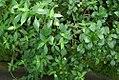 Heberdenia penduliflora 0zz.jpg