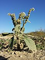 Heliotropium europaeum sl9.jpg