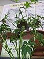 Helleborus croaticus1.jpg