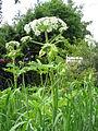 Heracleum mantegazzianum01.jpg