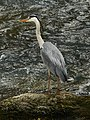 Heron-Albarine 01.jpg